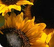 Photo : des tournesols
